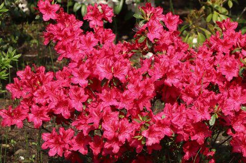 Japanische Azalee 'Georg Arends' - Rhododendron obtusum 'Georg Arends'