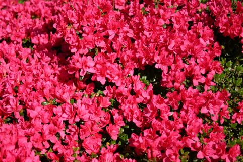 Japanische Azalee 'Gislinde' - Rhododendron obtusum 'Gislinde'
