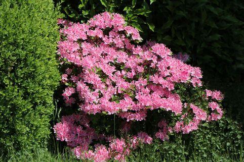 Japanische Azalee 'Kermesina Rosé' - Rhododendron obtusum 'Kermesina Rosé'