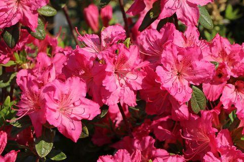 Japanische Azalee 'Kirstin' - Rhododendron obtusum 'Kirstin'