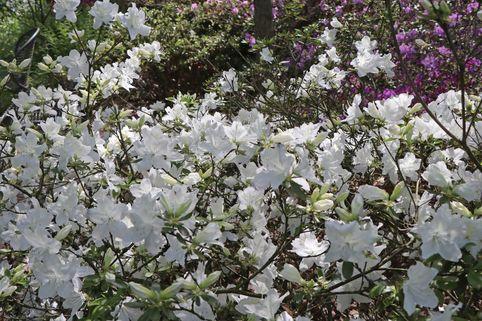 Japanische Azalee 'Luzi' - Rhododendron obtusum 'Luzi'