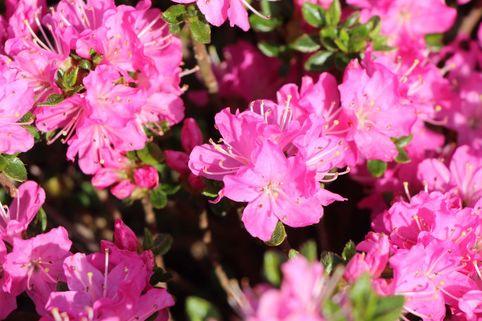Japanische Azalee 'Maiogi' - Rhododendron obtusum 'Maiogi'