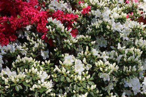 Japanische Azalee 'Maischnee' ® - Rhododendron obtusum 'Maischnee' ®