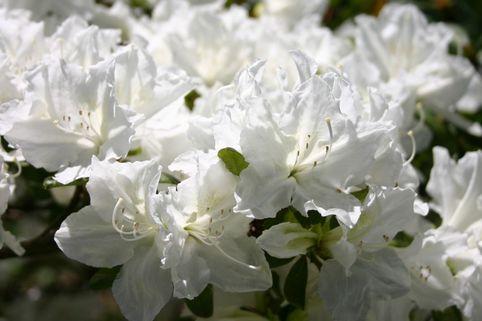Japanische Azalee 'Marie's Choice' - Rhododendron obtusum 'Marie's Choice'
