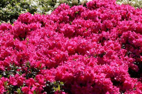 Japanische Azalee 'Melina' - Rhododendron obtusum 'Melina'