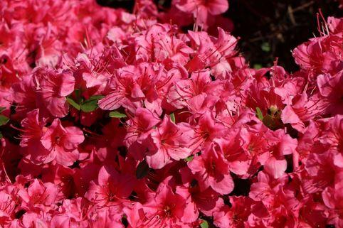 Japanische Azalee 'Michiko' - Rhododendron obtusum 'Michiko'