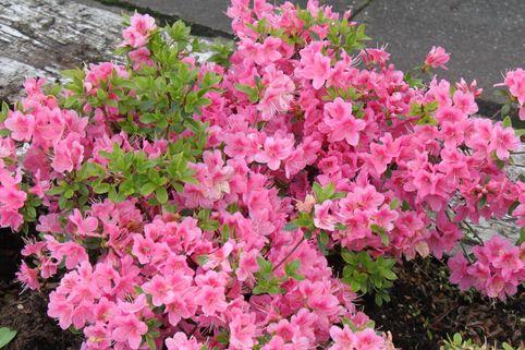 Japanische Azalee 'Oslava' - Rhododendron obtusum 'Oslava'