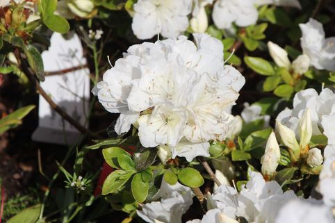 Japanische Azalee 'Panda' - Rhododendron obtusum 'Panda'
