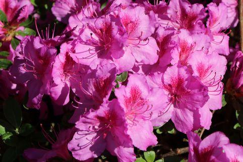 Japanische Azalee 'Peppina' ® - Rhododendron obtusum 'Peppina' ®