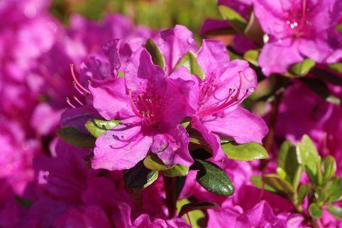 Japanische Azalee 'Purpurtraum' - Rhododendron obtusum 'Purpurtraum'