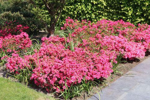 Japanische Azalee 'Rokoko' - Rhododendron obtusum 'Rokoko'