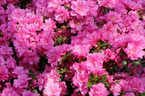 Japanische Azalee 'Rosinetta' ® - Rhododendron obtusum 'Rosinetta' ®