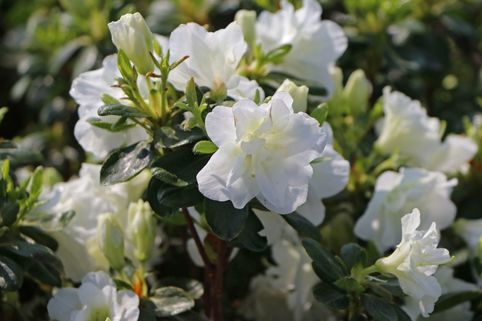 Japanische Azalee 'Schneeperle' ® - Rhododendron obtusum 'Schneeperle' ®
