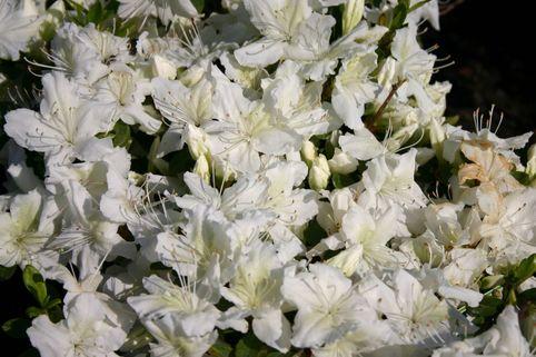 Japanische Azalee 'Schneesturm' - Rhododendron obtusum 'Schneesturm'