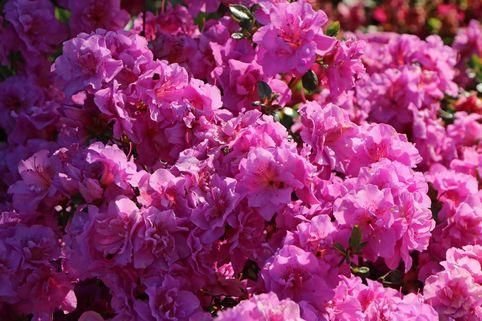 Japanische Azalee 'Thekla' - Rhododendron obtusum 'Thekla'