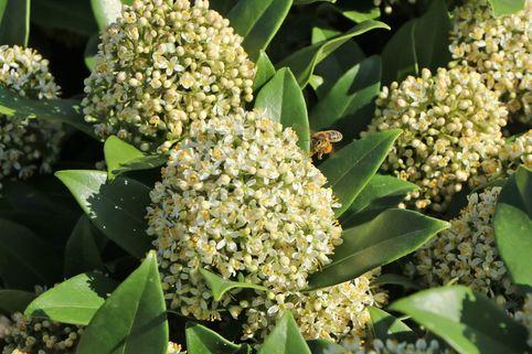 Japanische Blütenskimmie 'Fragrant Cloud' - Skimmia japonica 'Fragrant Cloud'