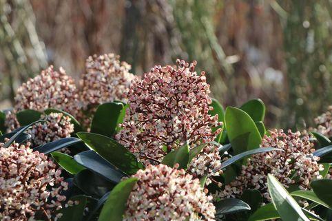 Japanische Blütenskimmie 'Rubella' - Skimmia japonica 'Rubella'