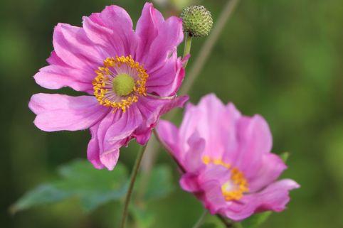 Japanische Herbst-Anemone 'Margarete' - Anemone japonica 'Margarete'