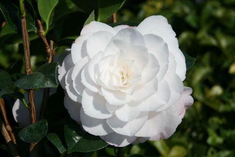 Japanische Kamelie 'Commander Mulroy' - Camellia japonica 'Commander Mulroy'
