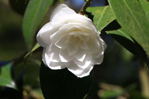 Japanische Kamelie - Camellia japonica  weiß / schwach rosa