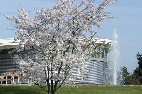 Japanische Maienkirsche - Prunus yedoensis