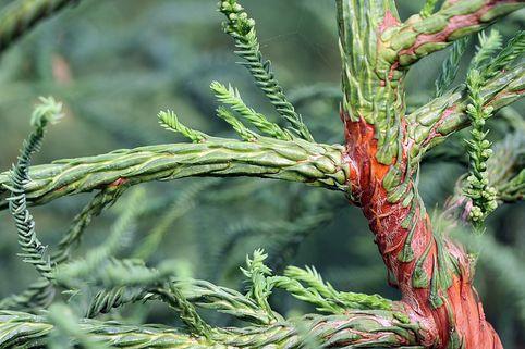 Japanische Sicheltanne 'Rasen' - Cryptomeria japonica 'Rasen'