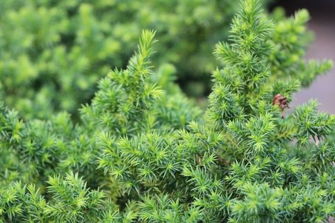 Japanische Sicheltanne 'Vilmoriniana' - Cryptomeria japonica 'Vilmoriniana'