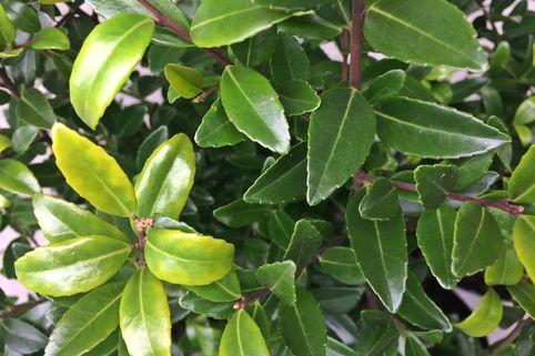 Japanische Stechpalme 'Evergreen' - Ilex maximowicziana 'Evergreen'