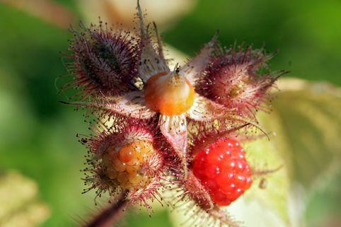 Japanische Weinbeere / Rotborstige Himbeere - Rubus phoenicolasius