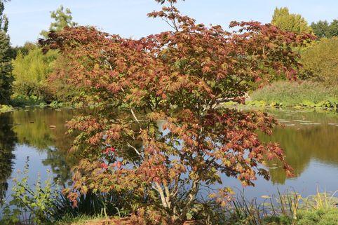 Japanischer Ahorn / Eisenhutblättriger Ahorn 'Aconitifolium' - Acer japonicum 'Aconitifolium'