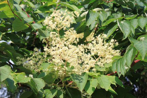 Japanischer Angelicabaum / Teufelskrückstock - Aralia elata