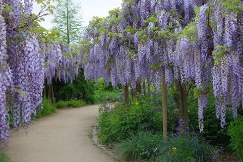 Blauregen 'Blue Dream' - Wisteria 'Blue Dream'
