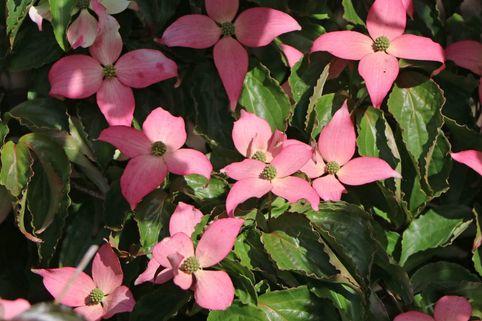 Japanischer Blumen-Hartriegel 'Beni Fuji' - Cornus kousa 'Beni Fuji'
