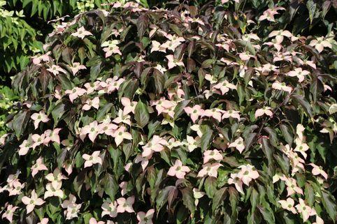 Japanischer Blumen-Hartriegel 'Cappuccino' - Cornus kousa 'Cappuccino'