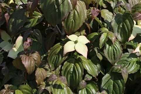 Japanischer Blumen-Hartriegel 'Ed Mezitt' - Cornus kousa 'Ed Mezitt'