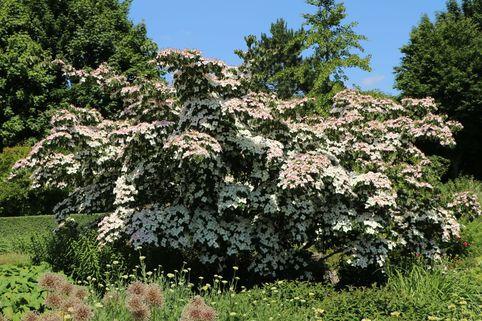 Japanischer Blumen-Hartriegel 'Eurostar' - Cornus kousa 'Eurostar'