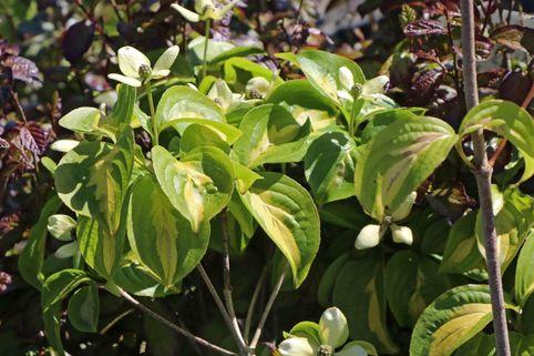 Japanischer Blumen-Hartriegel 'Gold Cup' - Cornus kousa 'Gold Cup'