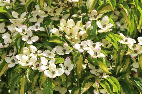 Japanischer Blumen-Hartriegel 'Goldstar' - Cornus kousa 'Goldstar'