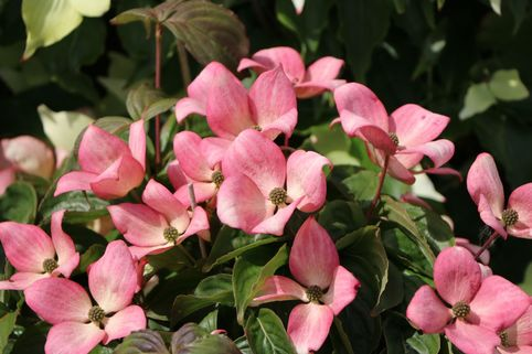 Japanischer Blumen-Hartriegel 'Satomi Compact' - Cornus kousa 'Satomi Compact'