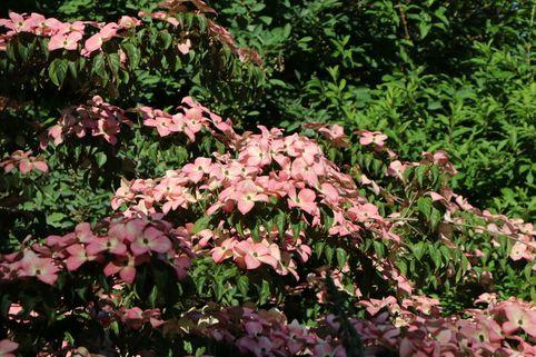 Japanischer Blumen-Hartriegel 'Satomi' - Cornus kousa 'Satomi'
