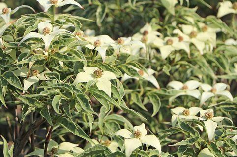 Japanischer Blumen-Hartriegel 'Teresa' - Cornus kousa 'Teresa'