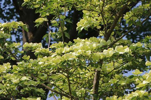 Japanischer Blumen-Hartriegel 'Venus' ® - Cornus kousa 'Venus' ®