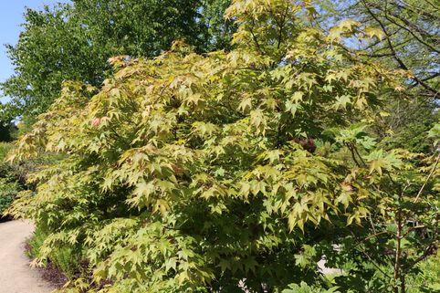 Japanischer Fächerahorn 'Osakazuki' - Acer palmatum 'Osakazuki'