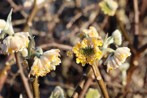 Japanischer Papierbusch 'Grandiflora' - Edgeworthia chrysantha 'Grandiflora'