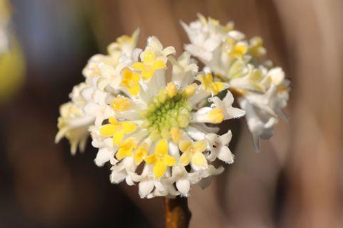 Japanischer Papierbusch / Mitsumata - Edgeworthia chrysantha