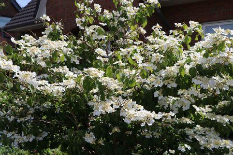 Japanischer Schneeball 'Lanarth' - Viburnum plicatum 'Lanarth'