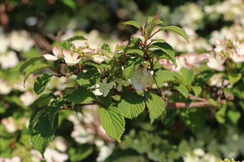 Japanischer Schneeball 'Pink Beauty' - Viburnum plicatum 'Pink Beauty'