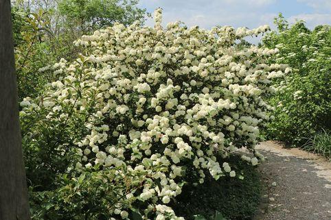 Japanischer Schneeball 'Rotundifolium' - Viburnum plicatum 'Rotundifolium'