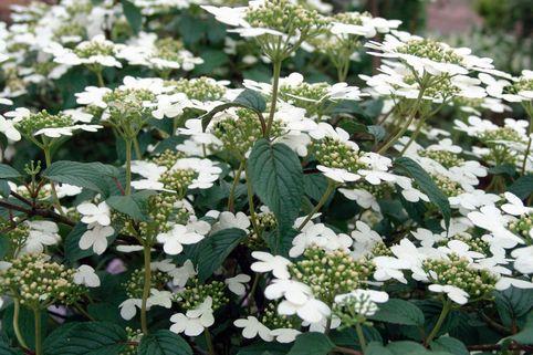 Japanischer Schneeball 'Summer Snowflake' - Viburnum plicatum 'Summer Snowflake'
