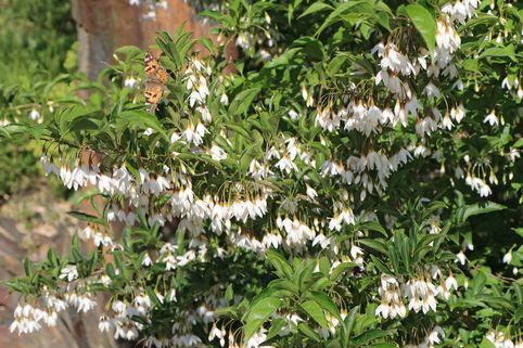 Japanischer Storaxbaum / Japanischer Schneeglöckchenbaum - Styrax japonica